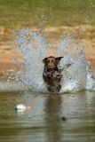 Brown labrador retriever jumps in the water. A happy brown labrador retriever jumps in the water after a duck Stock Image