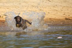 Brown labrador retriever jumps in the water royalty free stock photo