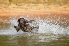 Brown labrador retriever jumps in the water Royalty Free Stock Image