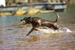 Brown labrador retriever jumps in the water Royalty Free Stock Photos
