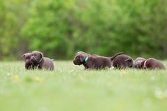 Brown labrador retriever puppies Stock Image