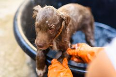 Labrador Puppy bathing with bubble. Brown Labrador Retriever Puppy taking a Bubble Bath on black bucket Royalty Free Stock Photos