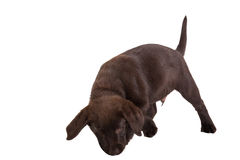 Brown labrador retriever puppy Royalty Free Stock Images