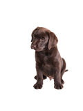 Brown labrador retriever puppy Stock Photos