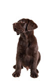 Brown labrador retriever puppy Stock Photography