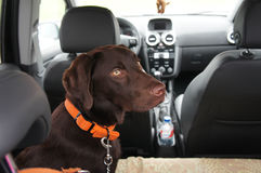 Brown labrador retriever. Sitting on the backseats of a car Royalty Free Stock Photos