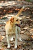 Brown Labrador Retriever Royalty Free Stock Images