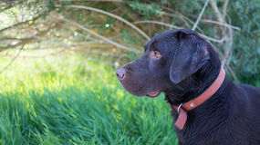 Brown labrador retriever Royalty Free Stock Images