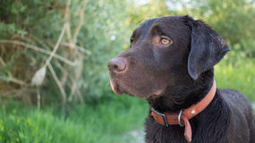 Brown labrador retriever. Wet brown labrador retriever hunting in the forest Stock Photos