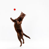 The brown labrador retriever on white Royalty Free Stock Images