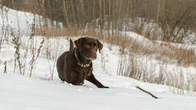 Brown Labrador Retriever in a winter landscape Royalty Free Stock Photo