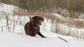 Brown Labrador Retriever in a winter landscape Royalty Free Stock Photo