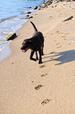 Brown labrador running on the beach Royalty Free Stock Photos