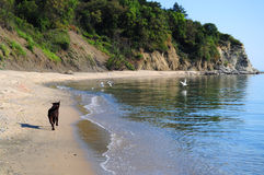 Brown labrador running on the beach Stock Photography