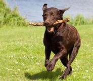 Brown labrador running with a stick Royalty Free Stock Photo