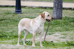 A Brown labrador running with a stick in its mouth in a grass fi Royalty Free Stock Photography