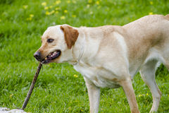 A Brown labrador running with a stick in its mouth in a grass fi Stock Photography
