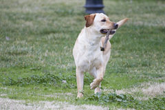 A Brown labrador running with a stick in its mouth in a grass fi Royalty Free Stock Photos