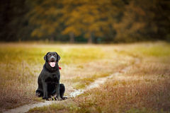 Brown labrador sitting on a footpath Stock Images