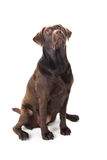 Brown labrador sitting and looking up Royalty Free Stock Image