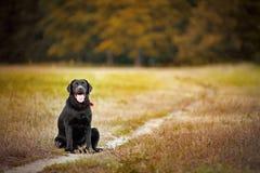 Brown labrador som sitter på en vandringsled Arkivbilder