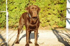 Brown labrador standing Stock Images