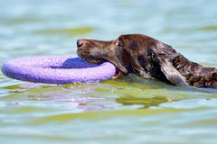Brown Labrador swimming in the sea Royalty Free Stock Photo