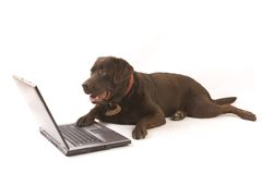 Brown labrador working on laptop stock image