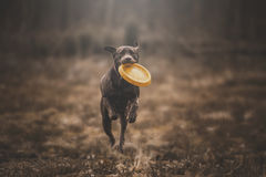 Brown labrador royalty free stock photography