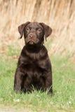Brown labradora ciucia w trawie Obraz Royalty Free