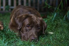 Brown labradora pies kłama na zielonej trawie Czekoladowy labrad Obraz Royalty Free