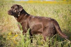Brown labradora pies w naturze Zdjęcia Royalty Free