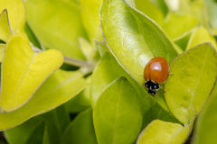 Brown lady bug on some leaves Royalty Free Stock Images