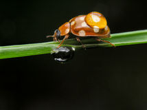 Brown ladybug with drop Royalty Free Stock Image