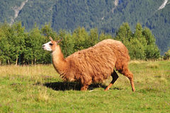 Brown-Lama Lizenzfreies Stockfoto