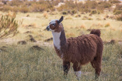 Brown lama. Chewing on a straw of grass in the Andes mountains, Argentina stock images