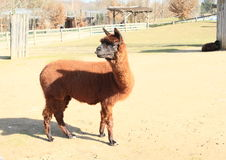 Brown-Lama Stockbild