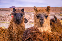 Brown lama alpaca herd. Two brown lamas looking directly in the camera. Alpacas are popular animals in South America for their wool and their meat Royalty Free Stock Images
