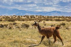 Brown lama in the Andes mountains. In Argentina stock photography