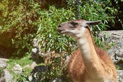 Brown lama animal head. In nature background. Pretty domestic lama animal royalty free stock photography