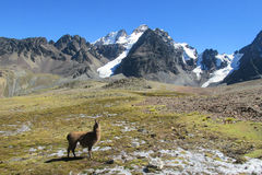 Brown lama at the bottom of big snow mountain. Brown wild alama walks in the Andes altiplano mountains at the bottom of big snow mountain royalty free stock photo