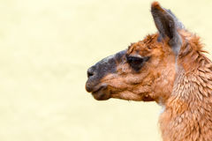 Brown Lama Camelid Head Against The Sky Royalty Free Stock Photography
