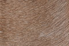 Brown lama fur background. Close-up. Animal brown hair texture stock photo