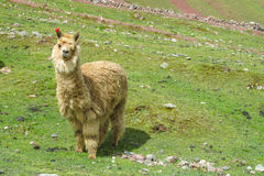 Brown lama on green grass. The llama, Lama glama domesticated South American camelid animals on the green meadow in the Andes mountain royalty free stock images
