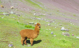 Brown lama on green grass. The llama, Lama glama domesticated South American camelid animals on the green meadow in the Andes mountain stock images