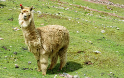 Brown Lama on green meadow grass stock image
