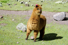 Brown lama on green meadow. The llama, Lama glama domesticated South American camelid animals on the green meadow in the Andes mountain valley royalty free stock images