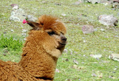 Brown lama on green meadow. The llama, Lama glama domesticated South American camelid animals on the green meadow in the Andes mountain valley royalty free stock photography