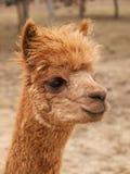 Brown lama guanaco Royalty Free Stock Photos