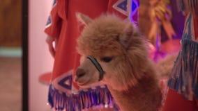 Brown lama indoors stock footage
